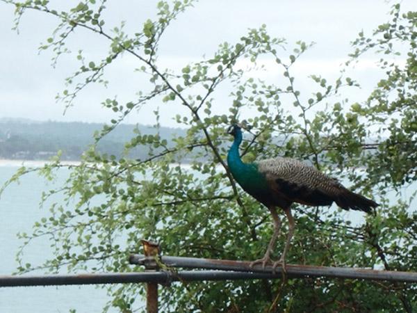 野鳥の王国スリランカ。自然が多い場所を歩いていると、よく見かけるクジャク。ここでは初めてクジャクが飛ぶのを見ることが出来て大感動!