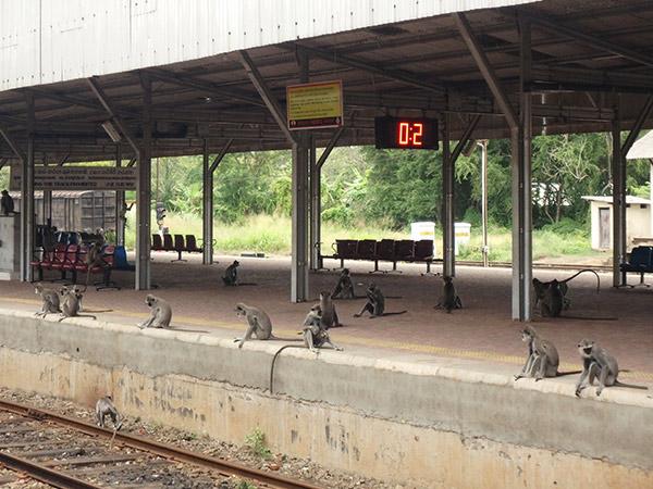 アヌラーダプラの駅にはハイイロオナガザルが沢山いて、駅の職員が追い払ったり、手渡しで美味しそうなグァバをあげていたり。そんな光景を眺めながらのんびりと列車が来るのを待っていました