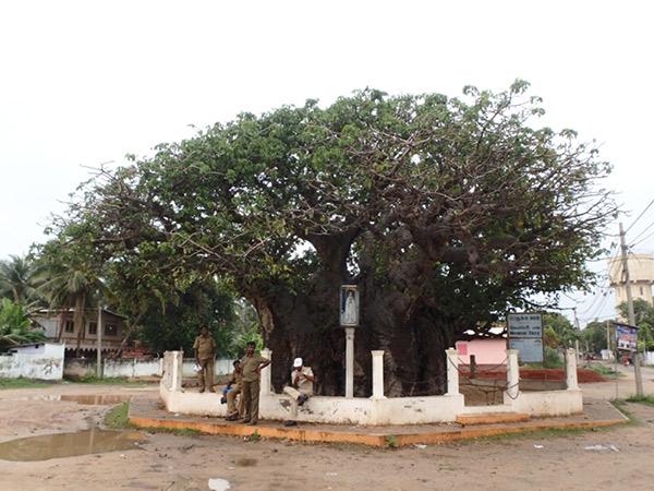 マンナールの少ない見所のひとつ、バオバブの木。アフリカの背の高いバオバブとは種類が違うようで、巨大な幹が印象的でした