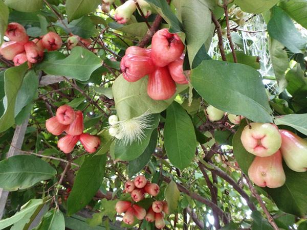 マアフシ島で泊まったお宿にはウォーターアップルの木が茂っていて、赤い果実がたわわに実っていました。さっぱりとした甘さでとても美味しいです♪