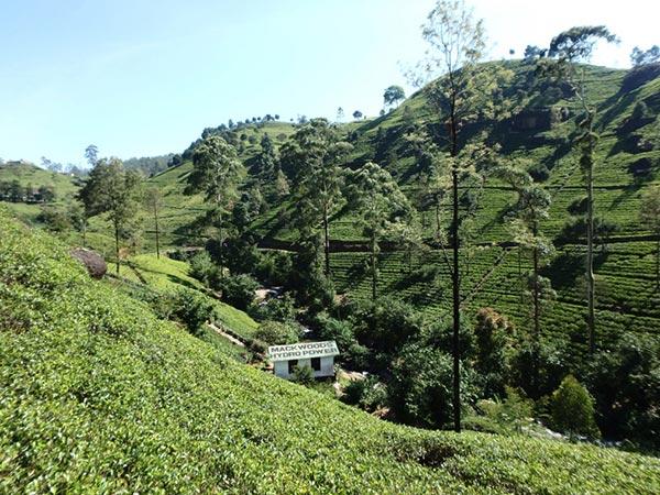 マックウッズ社の紅茶工場、ラブーケリー・ティー・センター Labookellie Tea Centre の周りに広がっている美しい茶畑