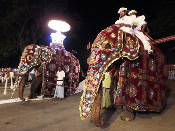 ナワン・ペラヘラ祭り Navam Perahera で白い布の上を歩く大きな牙のある象。背中に乗せられている電飾で飾られた舎利容器には、仏歯が収められています