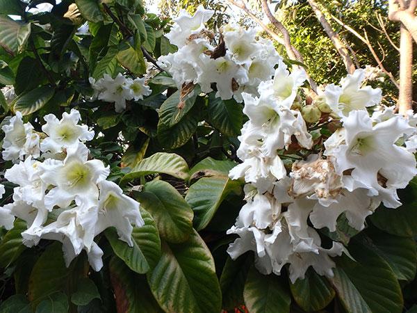 ジャスミンの香りがする大きな花
