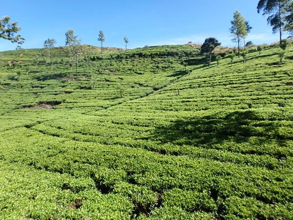 ヌワラ・エリヤ近郊にあるナーヌ・オヤ駅を出発した列車は、美しい茶畑の中をゆっくりと進んで行きます