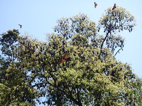 鳥の鳴き声かと思って上を見上げると、物凄い数のインドオオコウモリが!! 植物園西側のCook's Pine Ave付近の木には大きなコウモリが大量にぶら下がっています
