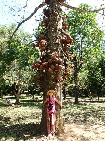 ペーラーデニヤ植物園には、大きな丸い実を付けているキャノンボールツリー(砲丸の木)がたくさん生えています