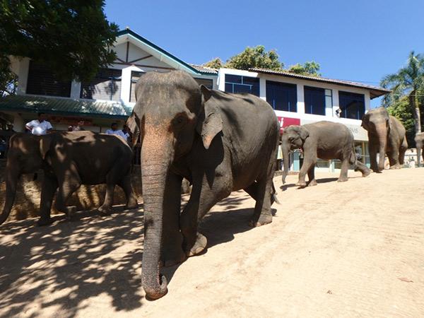 ピンナワラの像の孤児院 Pinnawala Elephant's Orphanage から土産物屋が並ぶ通りを歩いて近くの川へ移動している象たち。間近で見る象たちは大きくて迫力満点!! 外国人の入場料は2,500ルピー(約1,950円)