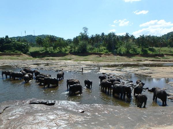 川で水浴びをしている象たち。ここはとても暑くて気温は約40度!! 象たちも暑いからかすぐに水から上がろうとして、飼育係に水の中に戻されていました。ピンナワラの象の孤児院へはキャンディからバスを乗り継いで約1時間半。孤児院の前にある軽食屋で瓶ジュースの値段を尋ねると、いつも50ルピーのものが130ルピーに! 孤児院の近く、来た道を少し戻った右側にスーパーマーケットのFood Cityがあります