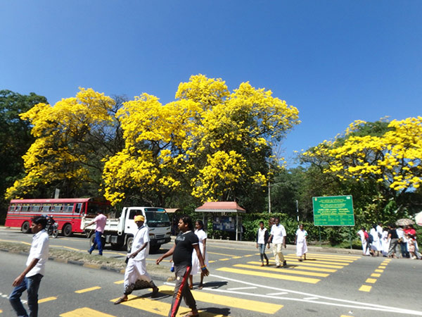 ペーラーデニヤ植物園 Peradeniya Botanical Gardens の入り口近くにあるバス乗り場に咲き誇っている美しい花イエロートランペット