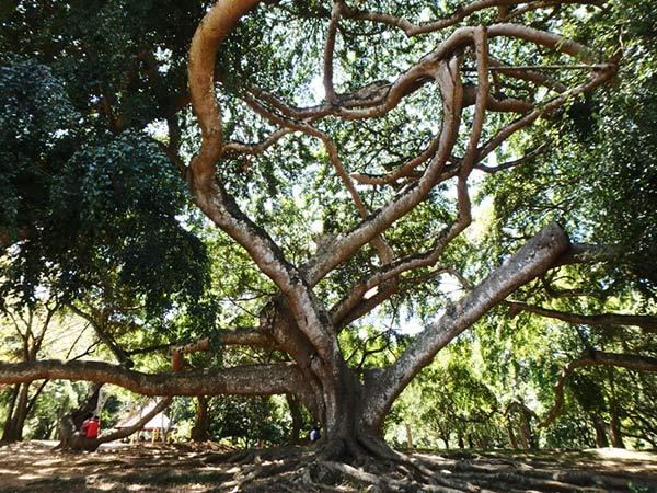 広大なペーラーデニヤ植物園 Peradeniya Botanical Gardens には珍しい巨木があちらこちらに生えていて「すごい!すごい!」を連発していました♪ キャンディからはバスで約15分、運賃は16ルピー(約12.5円)。外国人の入場料は1,100ルピーから1,500ルピー(約1,170円)に値上がりしていました(涙)