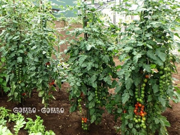 tomato2017