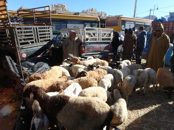 タフロウトの水曜市で売られている羊