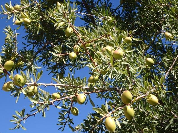 モロッコ南部にのみ生育するアルガンツリーの実