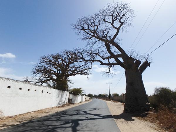 ラックローズの近くに生えているバオバブの木。ダカールの市内でもよく見掛けます