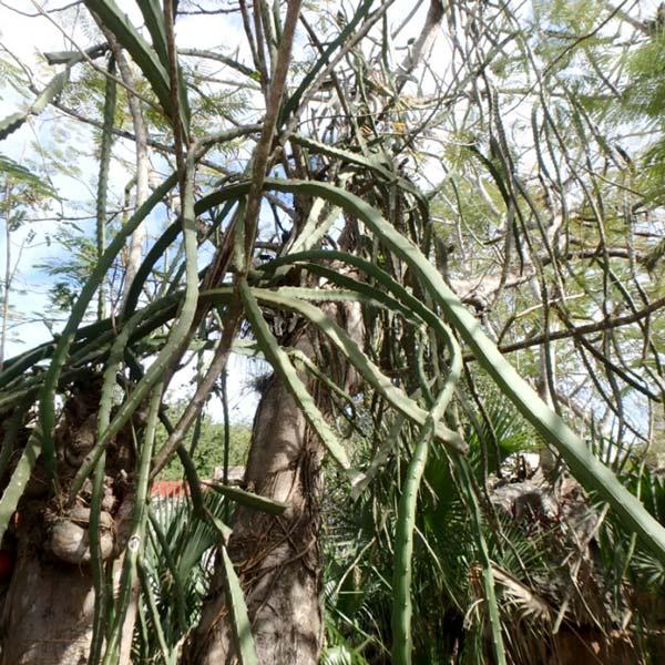 セノーテ・サシで見掛けた不思議な植物