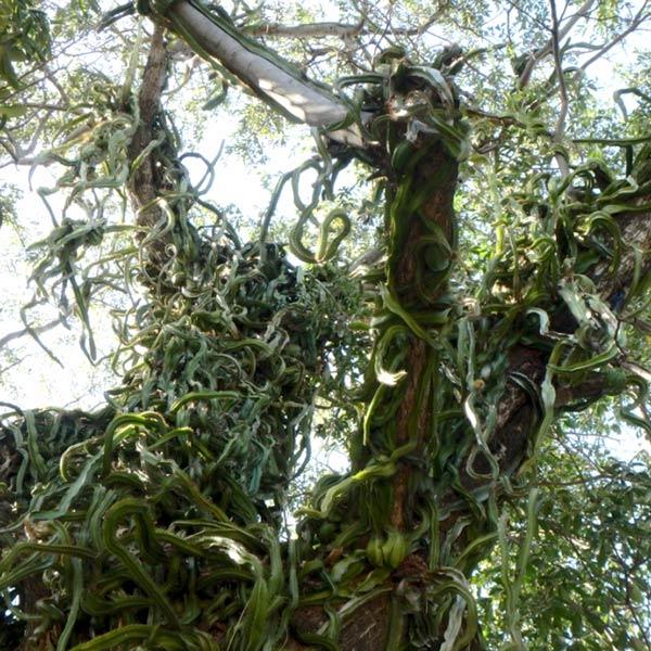 木に繁茂しているサボテンのような植物