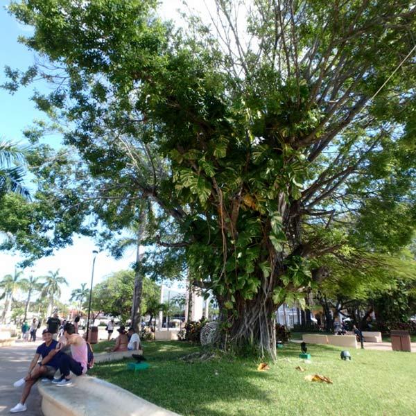 コスメル島唯一の町サンミゲル・デ・コスメル San Miguel de Cozumelのソカロで見掛けた、木に着生している斑入りのモンステラ