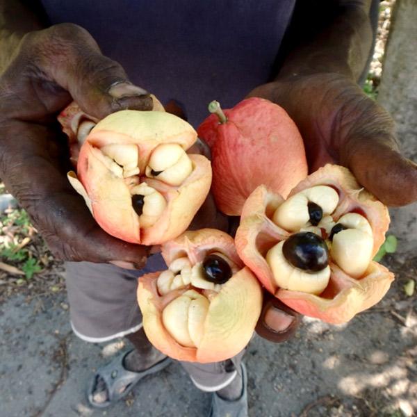 ジャマイカのみで食べられている果実、アキー Ackee。未熟の時は有毒で、外側の赤い果実が弾けると食べられるそうです。木になっている実を眺めていたら、通りがかった人が実を採って見せてくれました♪
