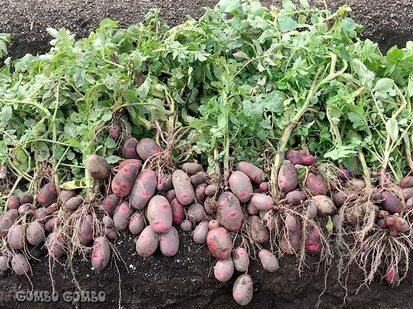 potatoH